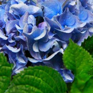 Fleurs hortensia